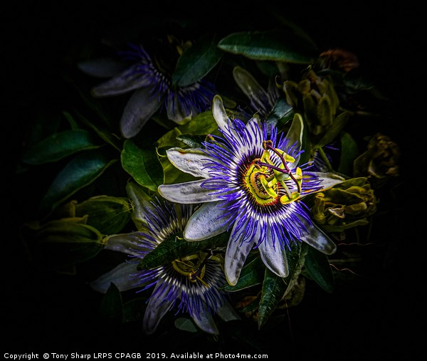 PASSION FLOWER - Passiflora Edulis Canvas print by Tony Sharp LRPS CPAGB