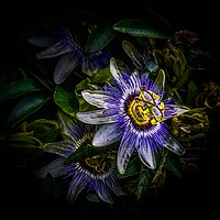 Buy canvas prints of PASSION FLOWER - Passiflora Edulis by Tony Sharp LRPS CPAGB