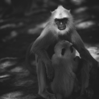 Buy canvas prints of Grey Langur  by Lorna Faulkes
