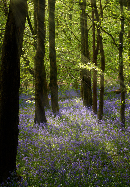 Bluebell Woods Framed Print by Richard Downs
