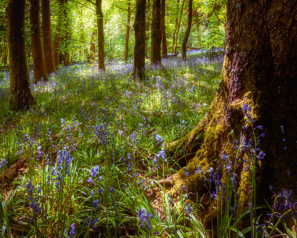Bluebell Woods Print by Richard Downs
