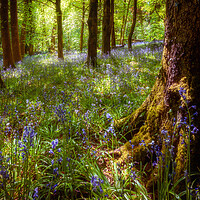 Buy canvas prints of Bluebell Woods by Richard Downs