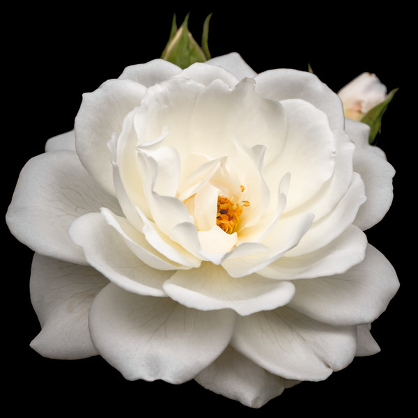 White Rose Canvas print by Jeremy Sage