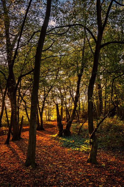 Golden forest Framed Print by Jeremy Sage