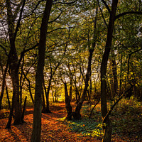 Buy canvas prints of Golden forest by Jeremy Sage