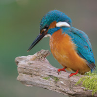 Buy canvas prints of Kingfisher by Corné van Oosterhout