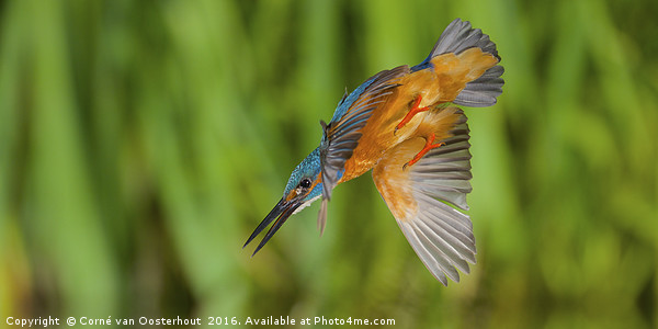 Diving kingfisher Framed Print by Corné van Oosterhout