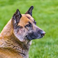 Buy canvas prints of German Shepherd Side View Portrait by Daniel Ferreira-Leite