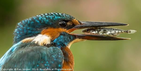 Kingfisher, eye to eye Canvas print by Ken Jensen