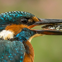 Buy canvas prints of Kingfisher, eye to eye by Ken Jensen