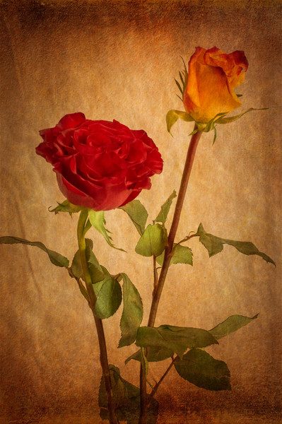 Roses Two Ways Canvas print by Garvin Hunter