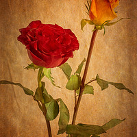 Buy canvas prints of Roses Two Ways by Garvin Hunter