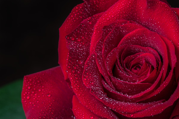 Red Rose  Canvas print by Garvin Hunter