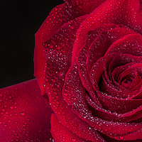 Buy canvas prints of Red Rose  by Garvin Hunter