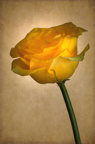 Yellow Rose  Canvas print by Garvin Hunter
