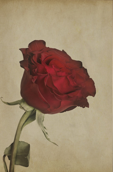 Single Red Rose  Canvas print by Garvin Hunter