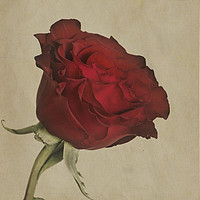 Buy canvas prints of Single Red Rose  by Garvin Hunter
