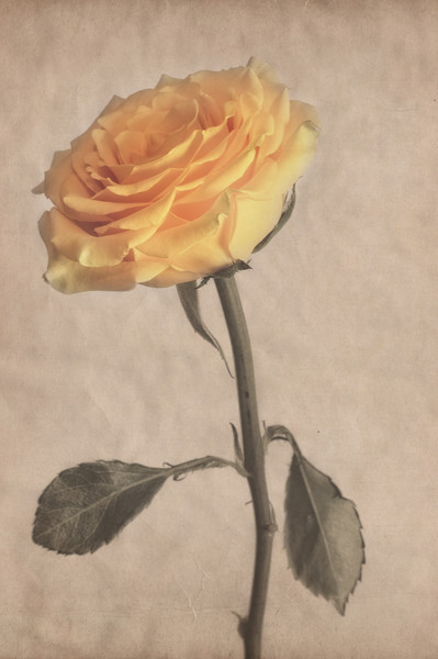 Classical Yellow Rose Canvas print by Garvin Hunter