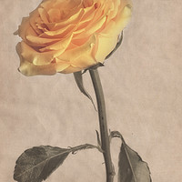 Buy canvas prints of Classical Yellow Rose by Garvin Hunter