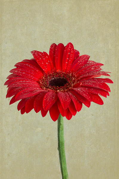 Ode To A Gerbera Daisy Canvas print by Garvin Hunter