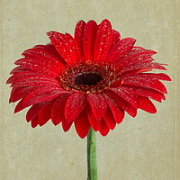 Buy canvas prints of Ode To A Gerbera Daisy by Garvin Hunter