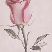 Buy canvas prints of Dusty Pink Rose5 by Garvin Hunter
