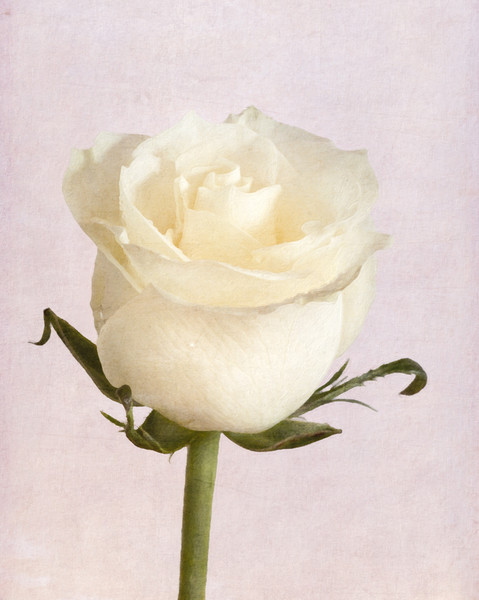 White Rose Canvas print by Garvin Hunter