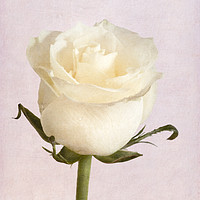 Buy canvas prints of White Rose by Garvin Hunter