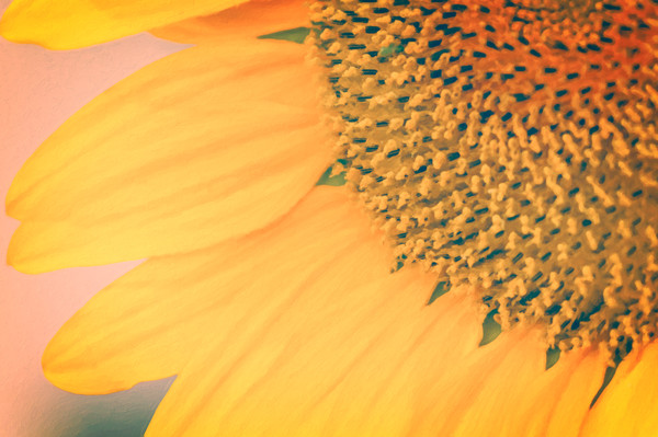 Toasted Sunflower Canvas print by Garvin Hunter