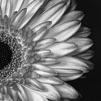 Buy canvas prints of Gerber Daisy Black and White by Garvin Hunter