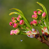 Buy canvas prints of Cherry Blossoms and a Drop of Water by Jeremy Hayden