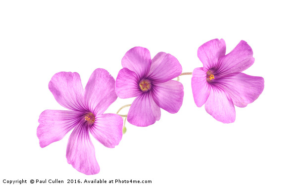 Pink Woodsorrel flowers Canvas Print by Paul Cullen