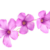 Buy canvas prints of Pink Woodsorrel flowers by Paul Cullen