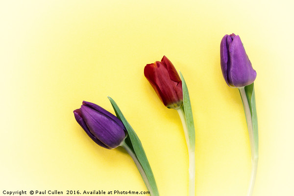 Three Tulips on a yellow background Canvas print by Paul Cullen