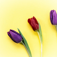 Buy canvas prints of Three Tulips on a yellow background by Paul Cullen