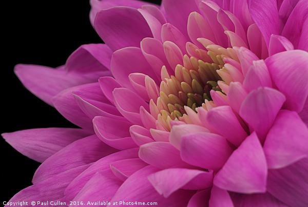 Chrysanthemum in pink. Canvas Print by Paul Cullen