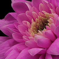 Buy canvas prints of Chrysanthemum in pink. by Paul Cullen