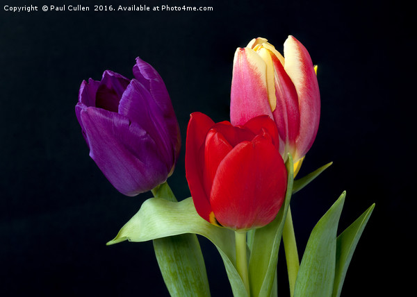 Three colourful Tulips on Black Canvas Print by Paul Cullen