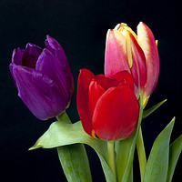 Buy canvas prints of Three colourful Tulips on Black by Paul Cullen