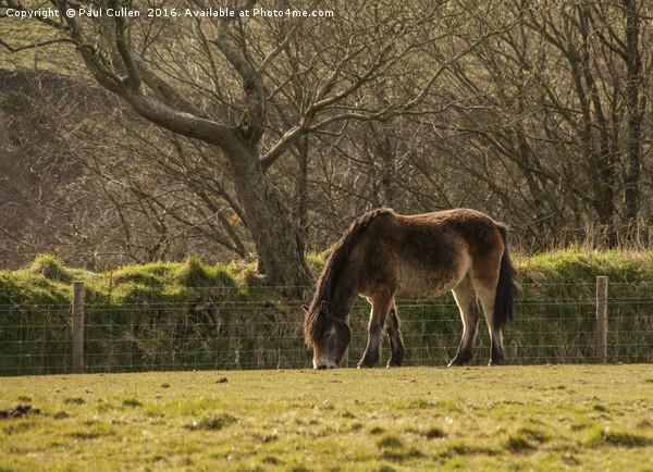 Exmoor Pony Canvas Print by Paul Cullen