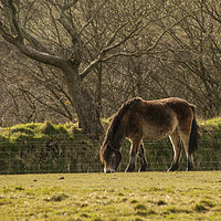 Buy canvas prints of Exmoor Pony by Paul Cullen