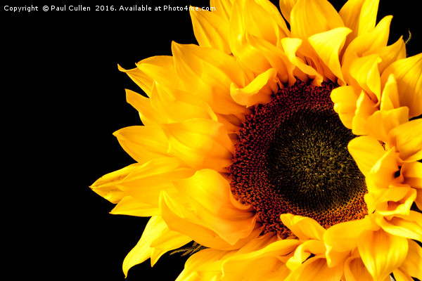 Rich Sunflower on Black. Canvas print by Paul Cullen