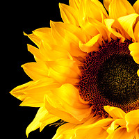Buy canvas prints of Rich Sunflower on Black. by Paul Cullen