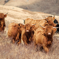 Buy canvas prints of Highland Cattle by Michael McKenna