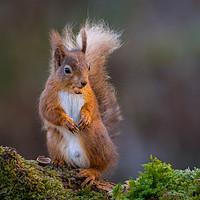 Buy canvas prints of Red Squirrel by Klikiti Klik