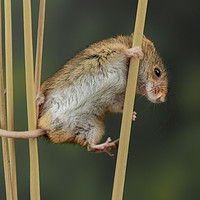 Buy canvas prints of Harvest Mouse by Klikiti Klik