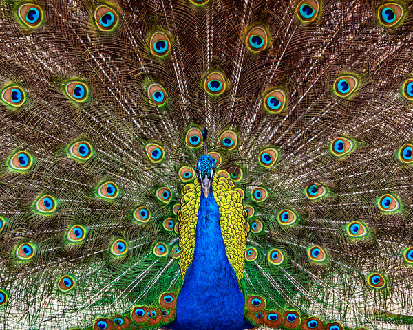 Indian Peacock, Pavo cristatus, displaying its col Canvas print by George Robertson