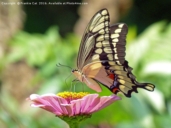 Giant Swallowtail Butterfly Canvas print by Frankie Cat
