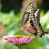 Buy canvas prints of Giant Swallowtail Butterfly by Frankie Cat