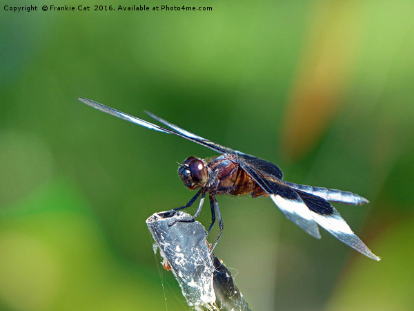 Dragonfly Canvas print by Frankie Cat